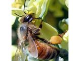 Honeybee report released